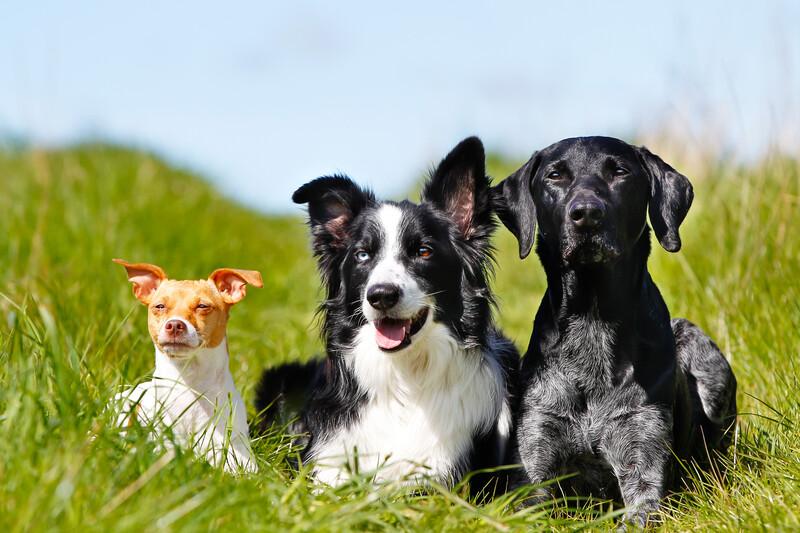 CBD voor honden